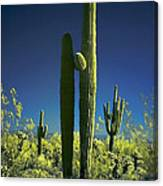 Infrared Saguaro 1 Canvas Print