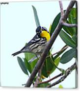 Inquisitive Yellow Throated Warbler Canvas Print