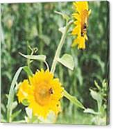 Insect On Sunflowers Canvas Print