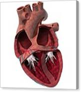Internal Heart Anatomy, Artwork Canvas Print