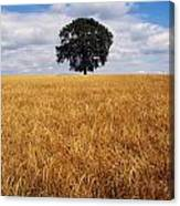 Ireland, Barley Field With Oak Tree Canvas Print