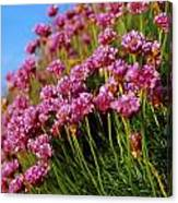 Ireland Close-up Of Seapink Wildflowers Canvas Print