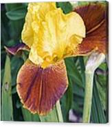 Iris 'all That Jazz' Canvas Print