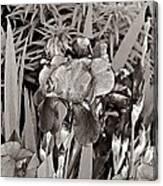 Iris Enhanced With Pencil Canvas Print