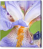 Iris Full Bloom Canvas Print