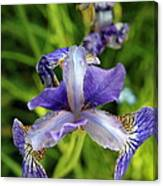 Iris In The Summer Morning Canvas Print