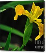 Iris In Yellow Canvas Print
