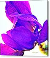 Iris Surprise  Canvas Print