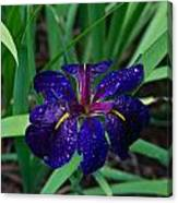 Iris With Rain Drops Canvas Print