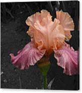 Iris2 Canvas Print