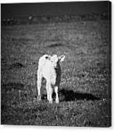 Irish Lone Calf In A Field Canvas Print
