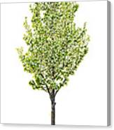 Isolated Flowering Pear Tree Canvas Print
