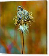 Isolated Locoweed Canvas Print