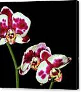 Isolated Orchids Canvas Print