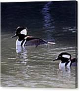 It's A Hooded Merganser Guy Thing Canvas Print