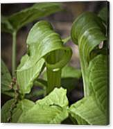 Jack In The Pulpit Canvas Print