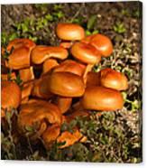 Jack Olantern Mushrooms 30 Canvas Print