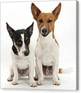 Jack Russell Terrier Dog, Rockie Canvas Print