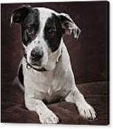 Jack Russell Terrier On A Brown Studio Canvas Print