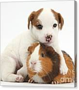 Jack Russell Terrier Puppy And Guinea Canvas Print