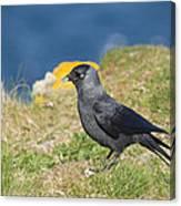 Jackdaw Gathering Nesting Materials Canvas Print