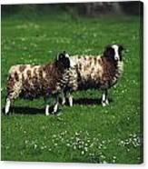 Jacob Sheep Canvas Print