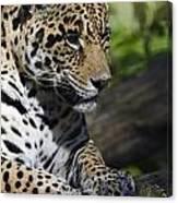Jaguar Canvas Print