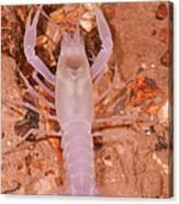 January River Blind Crayfish Canvas Print