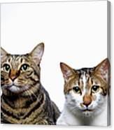 Japanese Cat And Manx Cat On White Background, Close-up Canvas Print