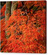 Japanese Maple In Autumn Canvas Print