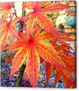 Japanese Maple Leaves 13 In The Fall Canvas Print