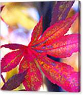 Japanese Maple Leaves In The Fall Canvas Print