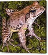 Japanese Ranid Frog Canvas Print