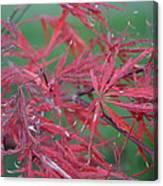 Japanese Red Leaf Maple Hybrid Canvas Print