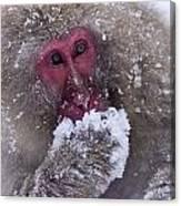 Japanese Snow Monkey Canvas Print