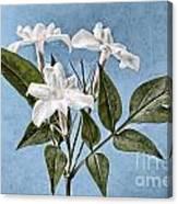 Jasminum Officinale Canvas Print