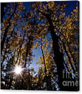 Jasper - Autumn Aspens Canvas Print