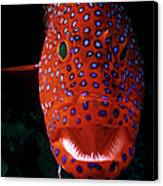 Jewel Grouper, Cephalopholis Miniata Canvas Print