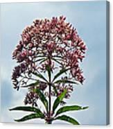 Joe-pye Weed Wildflower - Eupatorium Canvas Print