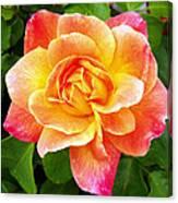 Joseph's Coat Rose Canvas Print