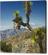 Joshua Trees Number 357 Canvas Print