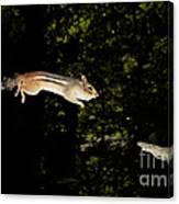 Jumping Chipmunk Canvas Print