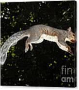 Jumping Gray Squirrel Canvas Print