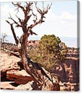 Juniper - Colorado National Monument Canvas Print