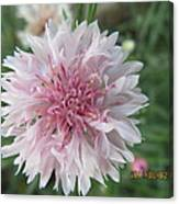Just Very Pretty Pink Canvas Print