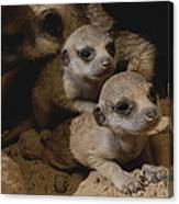 Just Waking Up, Two Meerkat Pups Canvas Print