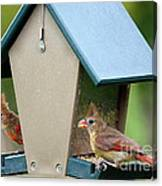 Juvenile Cardinals On Feeder Canvas Print
