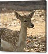 Juvenile Deer Canvas Print