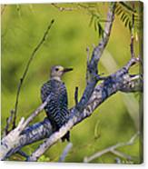 Juvenile Golden-fronted Woodpecker Canvas Print