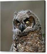 Juvenile Great Horned Owl Canvas Print